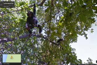 "Street View ahora permite ""caminar"" entre chimpancés"