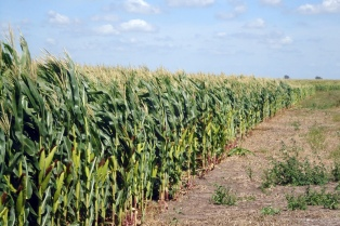 Kicillof anunció un nuevo incremento en el cupo para exportaciones de trigo y harina