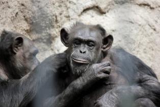 Presentan hábeas corpus para pedir la liberación y reubicación de un chimpancé del zoológico