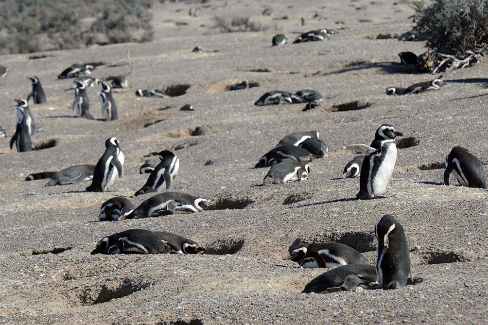Los primeros en llegar fueron los pingüinos machos, que comenzaron de inmediato a reacondicionar sus nidos.