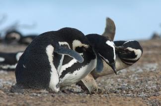 Las crías son alimentadas con anchoitas y calamar.