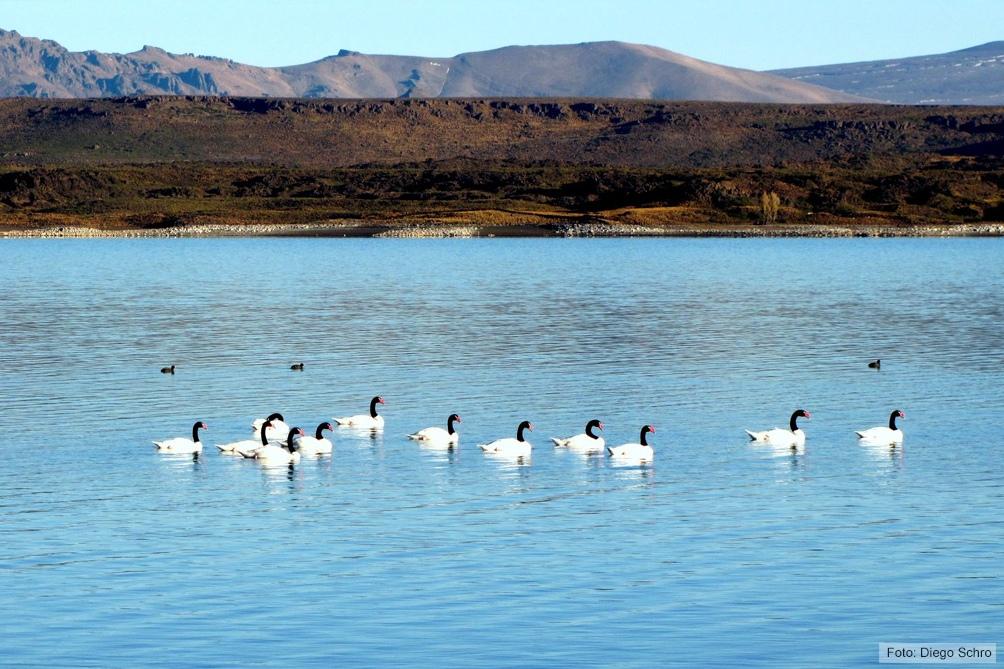 Uno de los principales objetivos es la conservación del cisne de cuello negro.