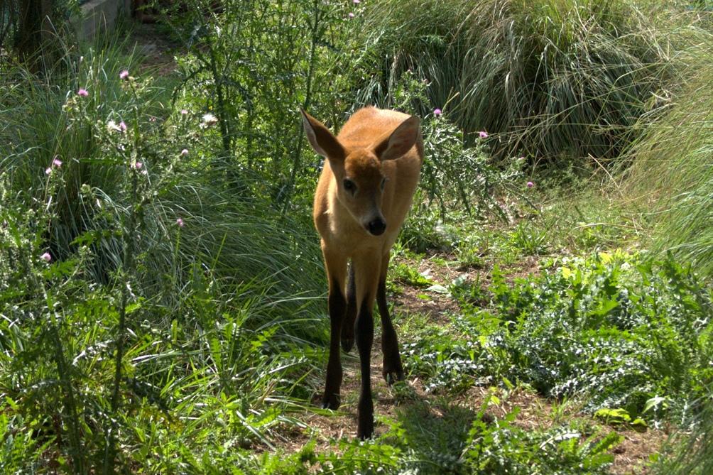El ciervo de los pantanos era una de las especies en mayor peligro de extinción.