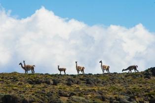 El Parque Nacional Patagonia protege especies endémicas y se organiza para el turismo