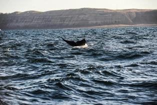 Puerto Madryn comienza a vivir su temporada de avistajes de ballenas y aves