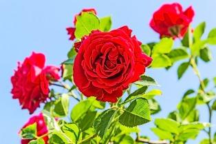 Rosa, rosa tan maravillosa: cinco pasos para plantar un gajo en casa