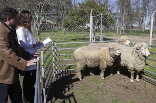 La ciencia al servicio del campo: reproducen ovejas de calidad para mejorar la producción ovina