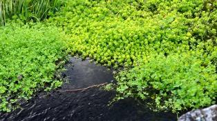 Experimentan con plantas acuáticas para atrapar sustancias tóxicas de desechos industriales