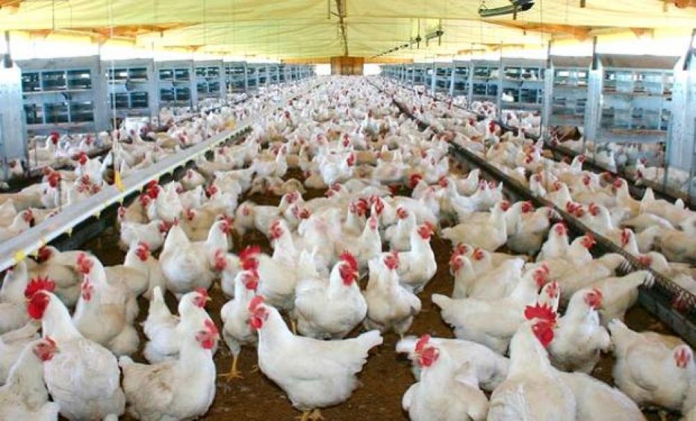 Confirmaron que una cepa con altos niveles de patógenos fue la causa de la muerte de los cisnes silvestres.