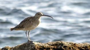 Río Gallegos da la bienvenida a la temporada de aves playeras