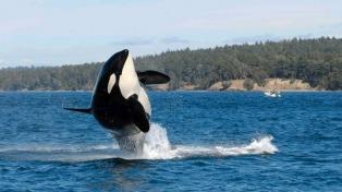 Muere a los 105 años Granny, la orca más vieja del mundo