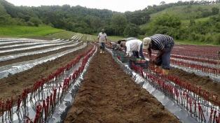 Autorizan cuatro nuevas variedades de uva de mesa desarrolladas por el INTA