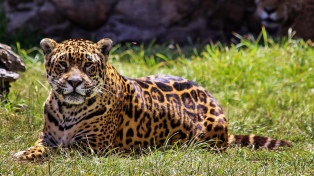 La Argentina y Brasil aúnan esfuerzos para salvar al Yaguareté