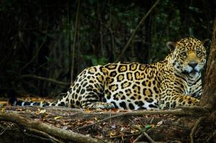 """Afirman que en la Argentina el yaguareté sufre su """"retracción más extrema"""" y sólo quedan 250 ejemplares"""