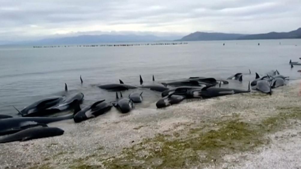 Las ballenas afectadas por enmalles constituyen un 26% entre 2010 y 2017.