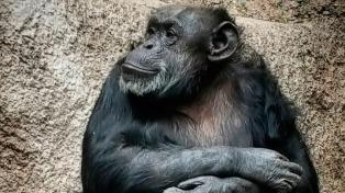 La chimpancé Cecilia va rumbo a su nuevo hogar en un santuario de Brasil