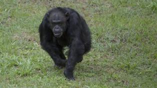 El santuario de los primates, la ventana a la libertad de Cecilia y otros chimpancés rescatados