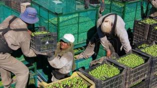 Con contrastes, cierra la cosecha de aceitunas y se espera un récord