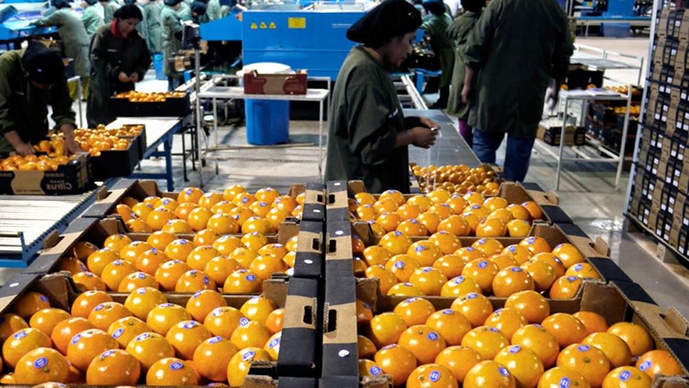 """Casos de """"mancha negra"""" solo se detectaron en cinco partidas de naranjas producidas en provincias del Noroeste."""