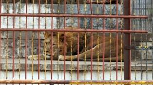 Sudáfrica busca prohibir la cría de leones para la caza