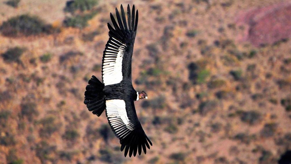 El cóndor aprovecha las corrientes térmicas de aire para remontar vuelo y enseñar a planear a las crías.
