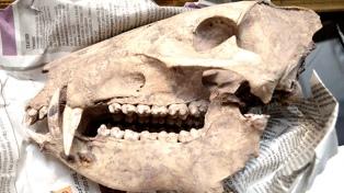 Recuperan gran cantidad de piezas arqueológicas y paleontológicas