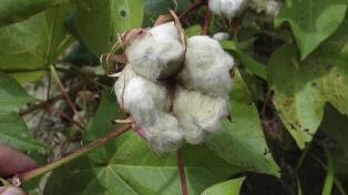 Inaugurarán un laboratorio para medir la calidad del algodón