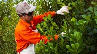 Incorporan las tijeras automáticas para la cosecha de yerba mate