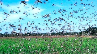 La provincia se prepara para enfrentar una intensa plaga de langostas