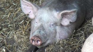 La provincia busca mejorar su genética porcina con la 7ma edición de la Expo Cerdo y Granja