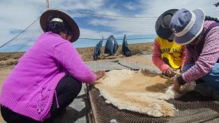 Esquilas comunitarias de vicuñas permiten obtener fibras de calidad que llegan al mercado europeo
