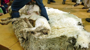 La producción de lana fue menor y con mejores precios en la zafra 2017/8
