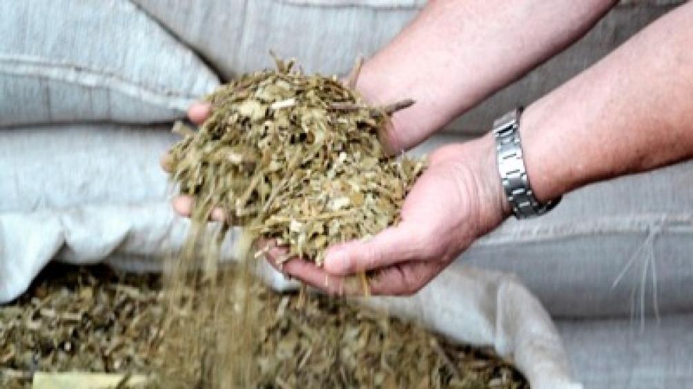 Cada tonelada de hoja verde equivale a 300 kilogramos de yerba canchada