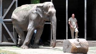 Comienzan a entrenar a la emblemática elefanta del Zoo de La Plata para su viaje a Brasil