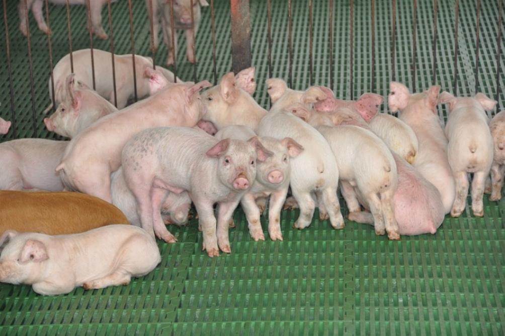 Los modos intensivos de producción ganadera favorecen la transmisión de virus animales a humanos.