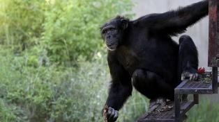 La Justicia rechazó un recurso para que trasladen a los chimpancés del zoo porteño