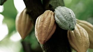 La isla cosechó 200 toneladas de cacao en 2017, la cifra más baja en 70 años