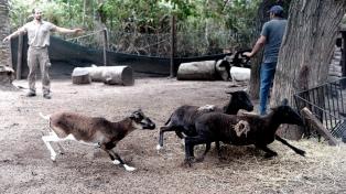 Trasladaron a nueve ovinos del ex zoológico platense a un predio de conservación