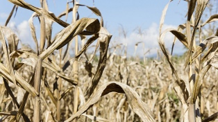 Advierten que 45% de los cultivos estivales están en estado crítico por la sequía
