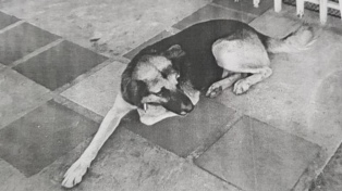 Buscan a un perro que continúa prófugo de la Justicia