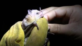 Confirman la aparición de un murciélago con rabia en Bahía Blanca