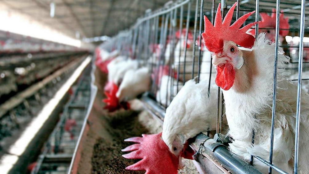 La Unión Europea (UE) aprobó el ingreso nuevamente de carne aviar producida en Argentina.