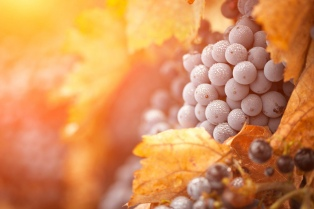 Cuatro bodegas lanzarán vinos en lata con la intención de captar al público joven