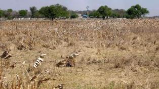 Estiman que por la sequía habrá menor siembra de trigo y garbanzo