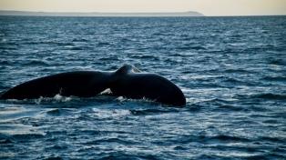 Llegaron a Península Valdés las primeras ballenas de la temporada
