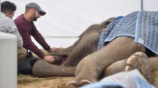 La elefanta Pelusa no mejora su estado de salud