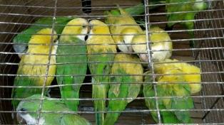 Secuestran cotorras que eran teñidas y vendidas como loros amazónicos