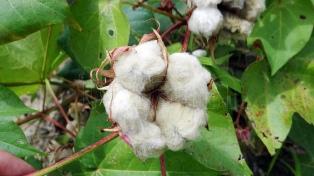 """""""El algodón está repuntando en el Nea"""", aseguró la Federación Agraria"""