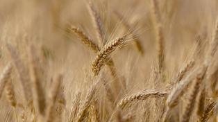 Las lluvias retrasan la siembra de trigo