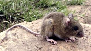 Alertan que la caza de zorros y pumas puede aumentar la población del ratón colilargo